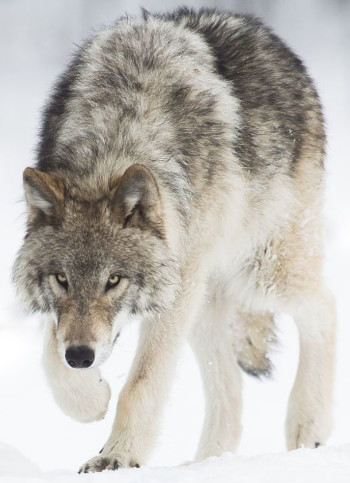 Ivan_Wolf.jpg