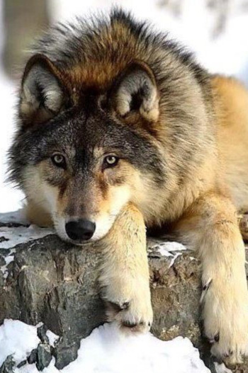 London_Wolf.jpeg