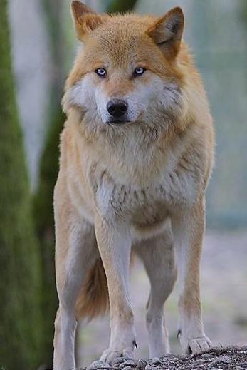 Tala_Wolf.png