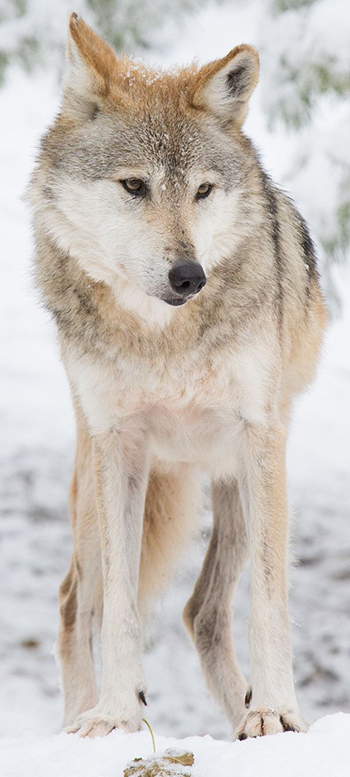 Scarlett_Wolf.jpg