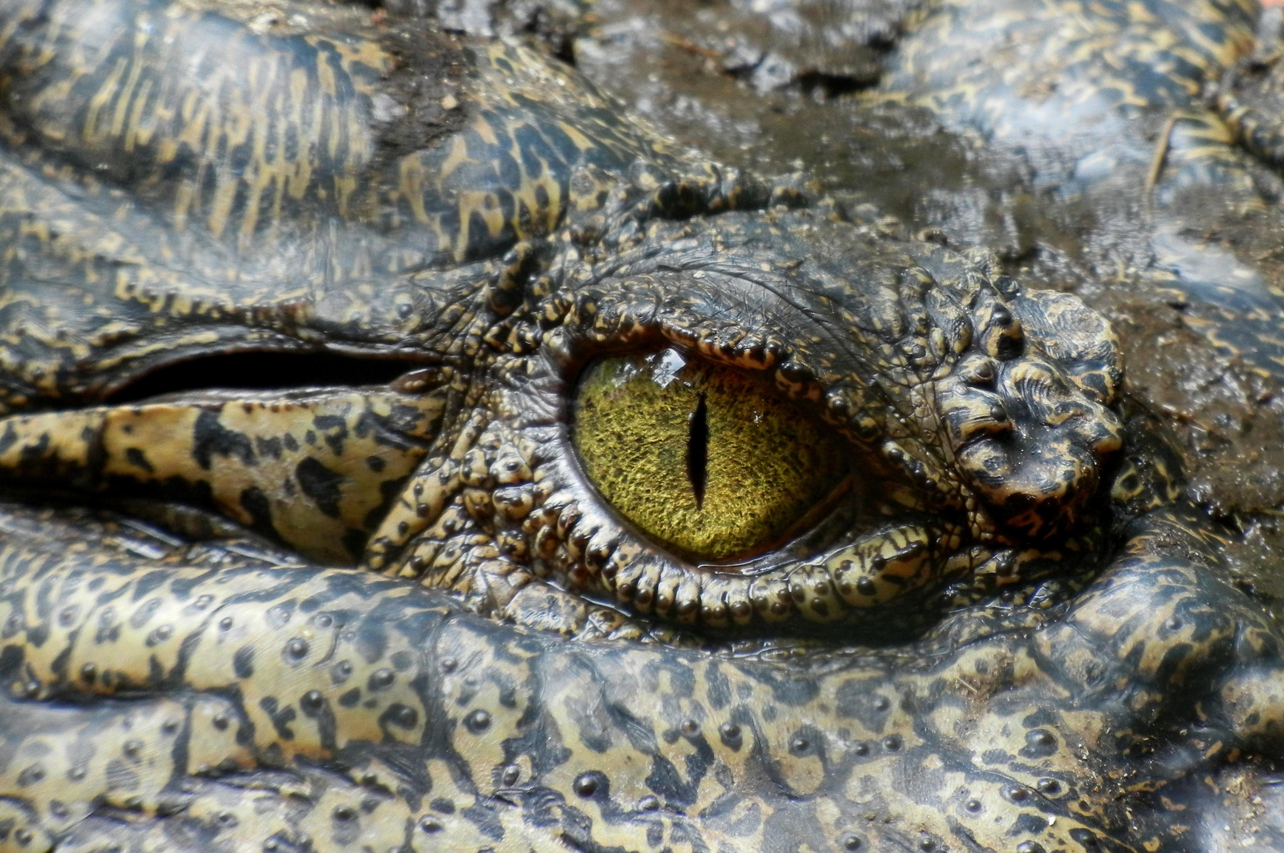 croc_eye.jpg