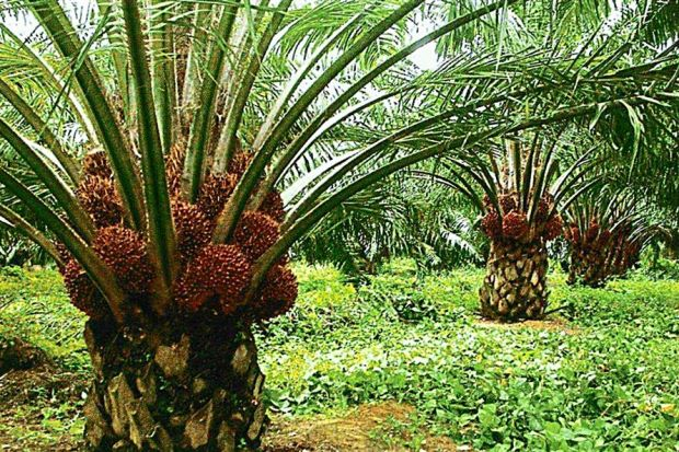 Izpek_Oil_Palms.jpg