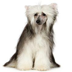 chinesecrestdog.jpeg