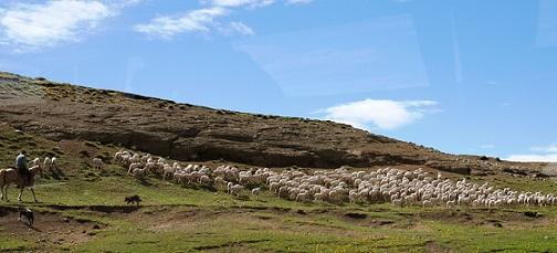 Herd_of_Islas_Sheep.jpg