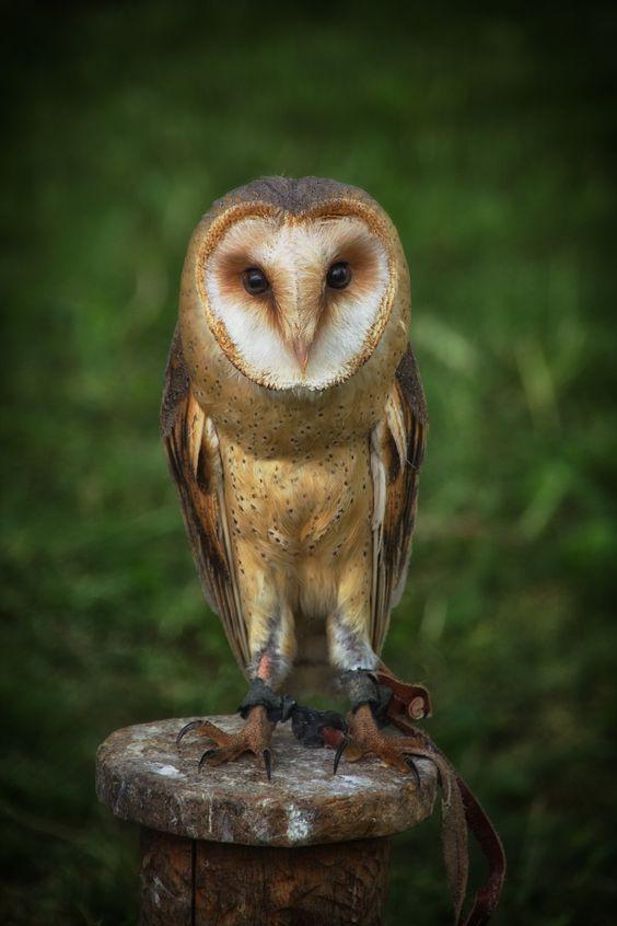 owlliver.jpg