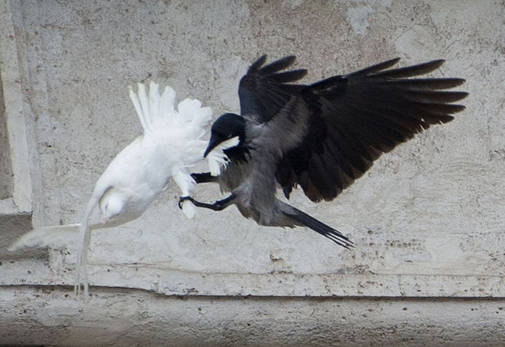 Indaris_raven_attacks_dove.jpg