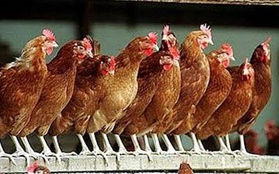 roostingchickens.jpg