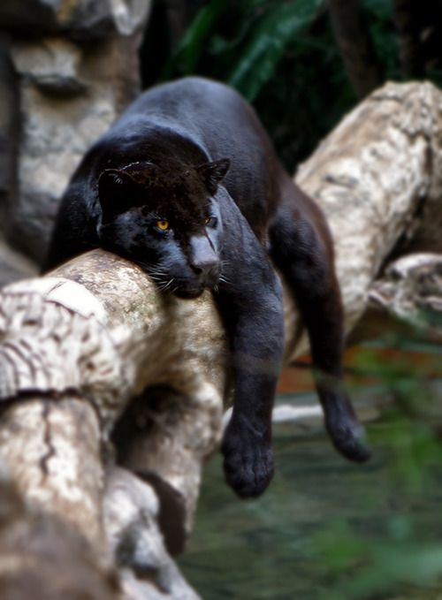 Panther_in_a_Tree.jpg