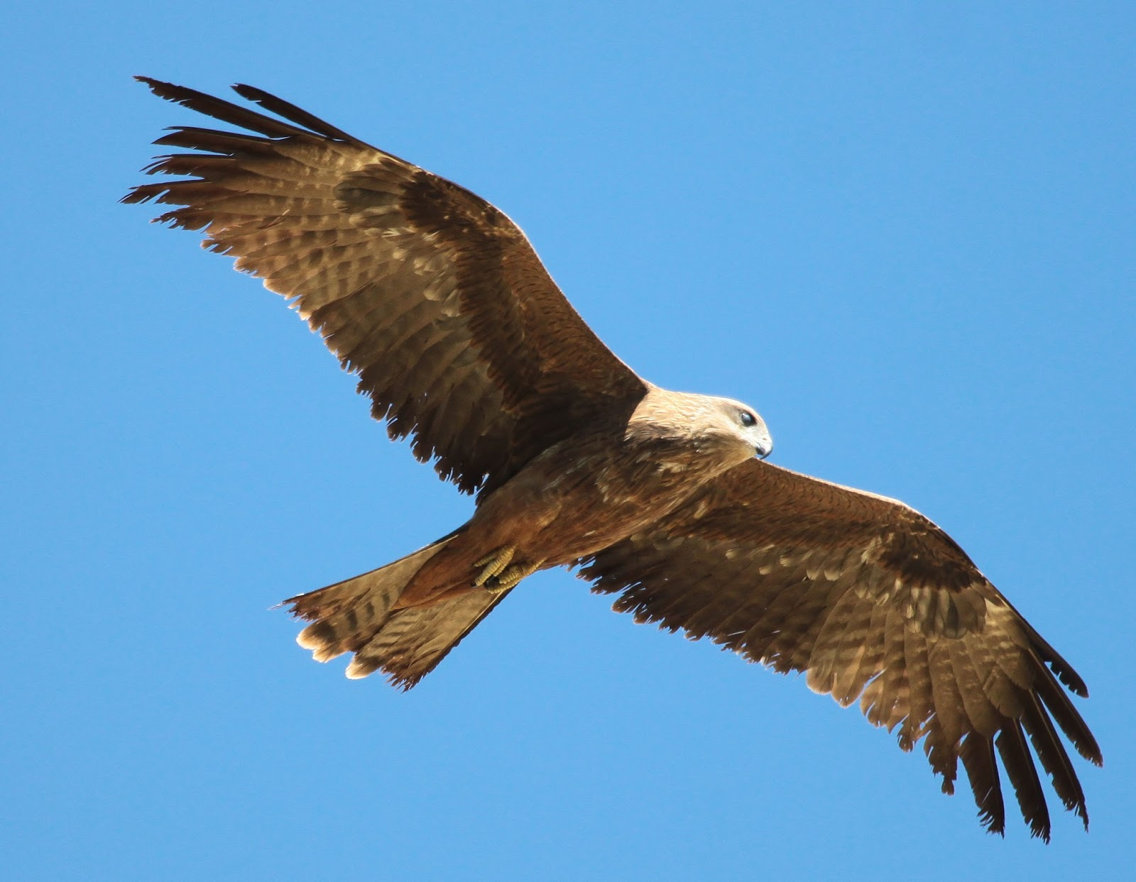 Black_Kite_2013_04_28_Backyard_02.jpg