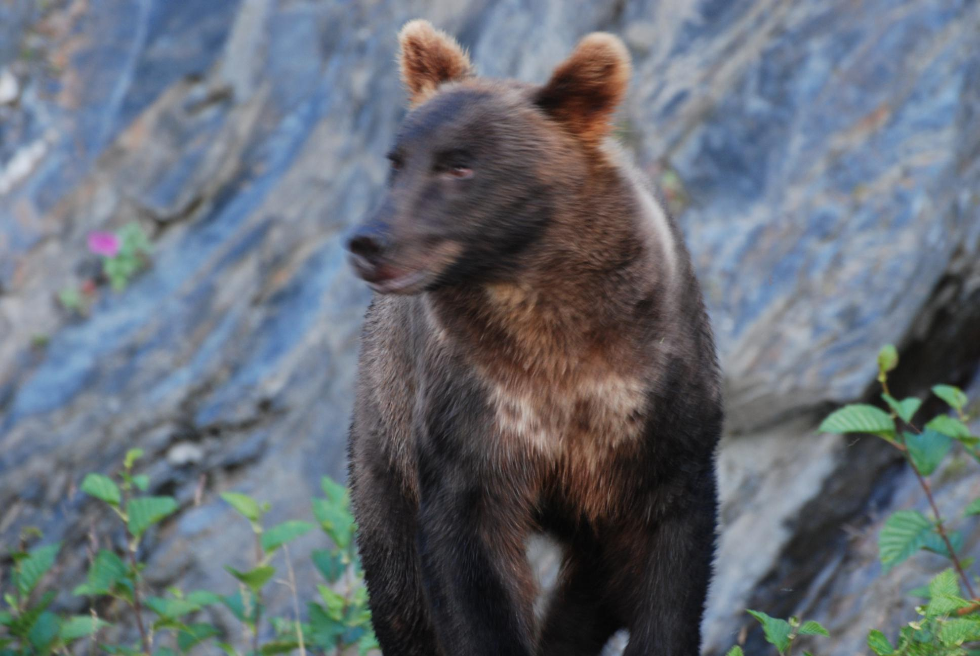 Grizzly-Bear-4-Valdez-AK-2011-07-28_1936x1296.jpg