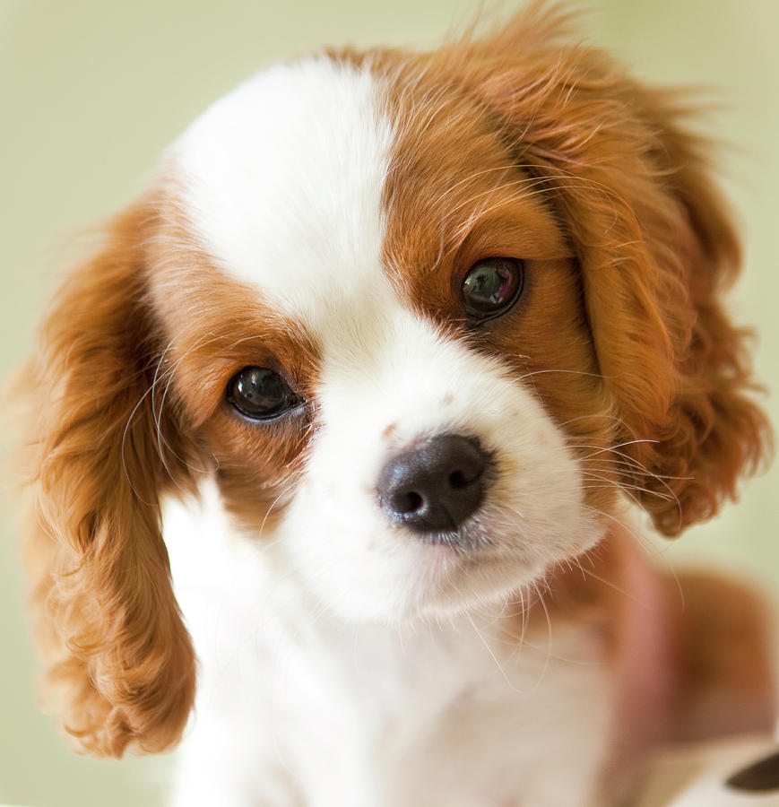 king-king-charles-spaniel-breed.jpg