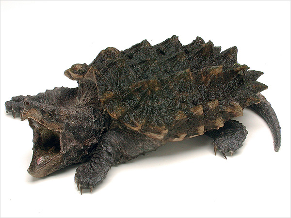 alligator-snapping-turtle_img01-l.jpg