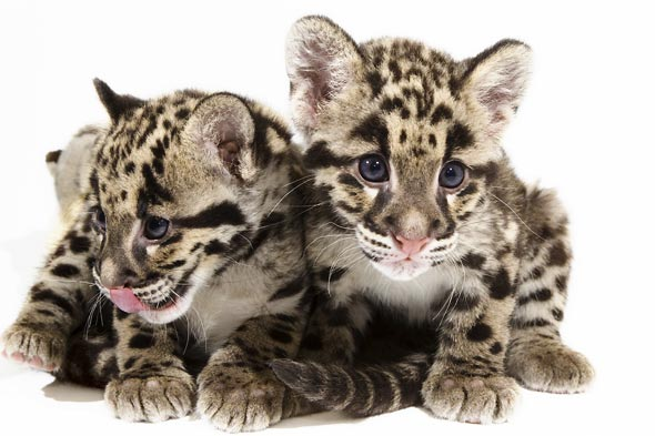 clouded-leopard-cubs-590ds052510.jpg