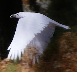 Char the Raven