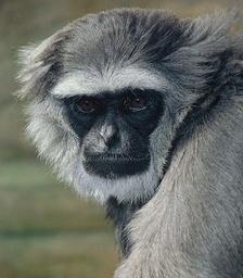 Neville (Mary Myre's monkey)