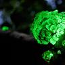Luminescent Fungus