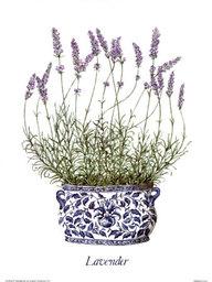 Purple Lavendel