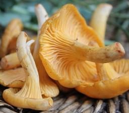 Archon Mushroom