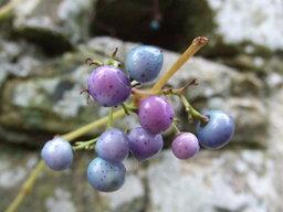 Goblin Fruits