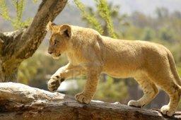 Lionborn