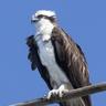 Henry, Sea Hawk