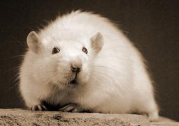 Porté-Ratte