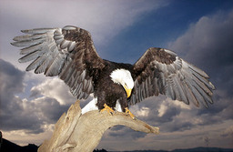 Sotom the great Eagle