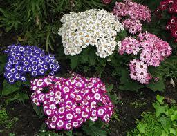 Hyponac Flower