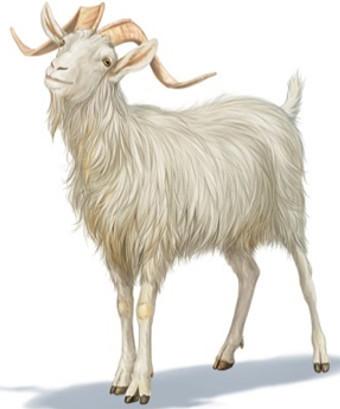 Goat/Sheep