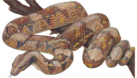 Snake, Giant Constrictor