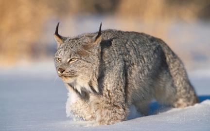 NPC Beoraborn's Lynx