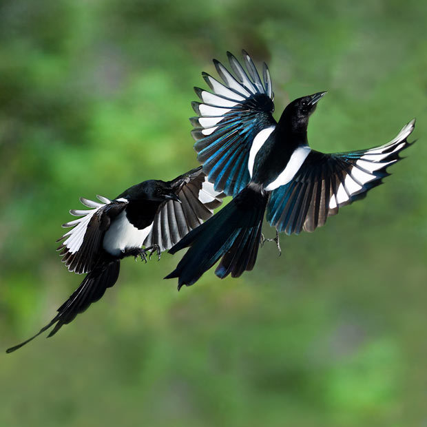 NPC Beoraborn's Magpies