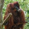 Cathbad Celestial Legendary Ape (Medium) form