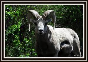 Hannibal, Giant Ram