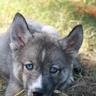Dire Wolf Puppy