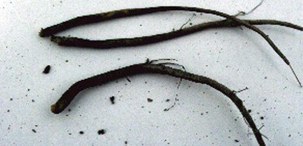 Black Root