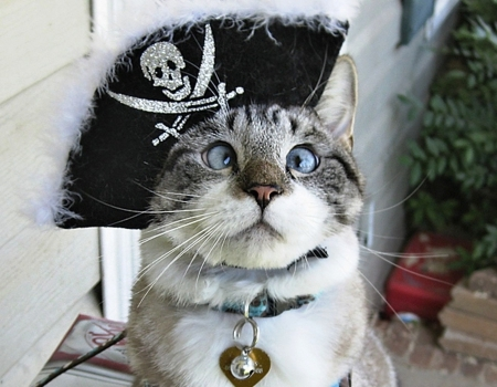 Admiral the cat