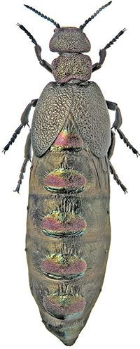 coleoptera_meloidae