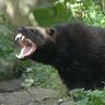 Raru's wolverine companion