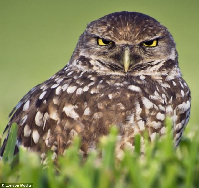 Harold the Owl