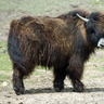Paul the Yak