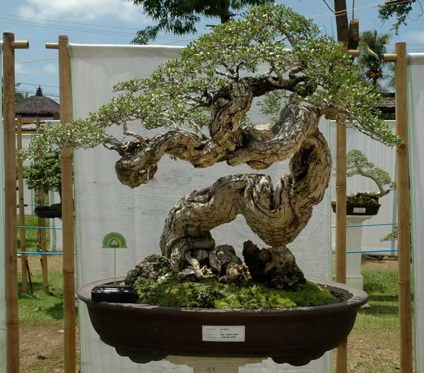 Mayor Ward's Ficus