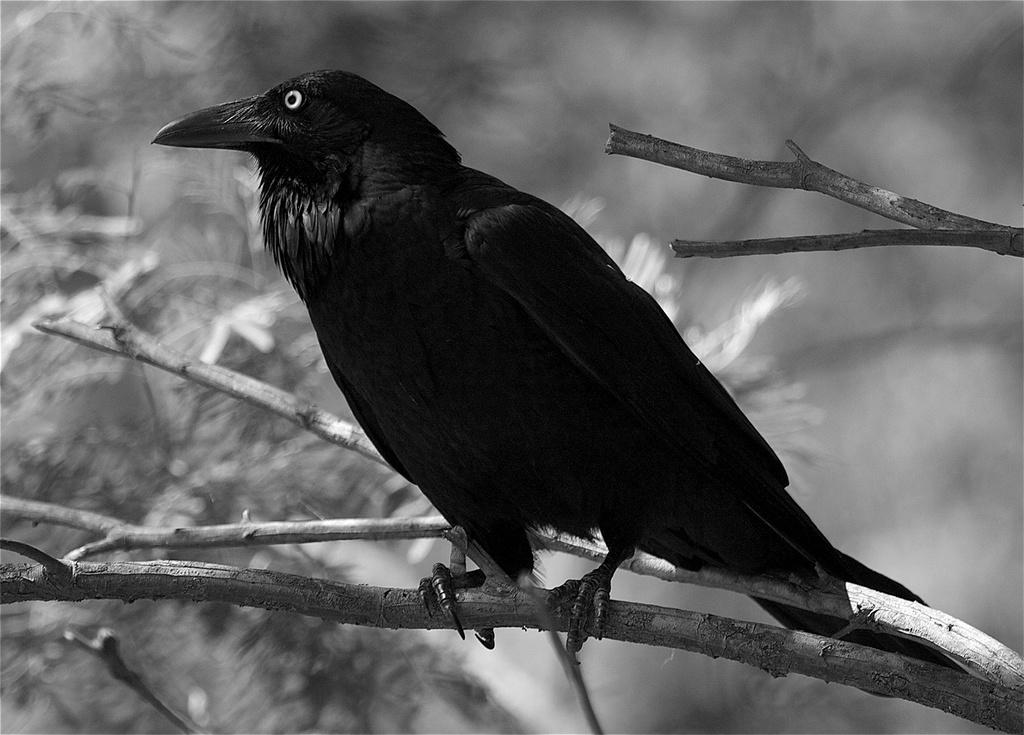 """Raven Spirit """"Red Claw"""""""