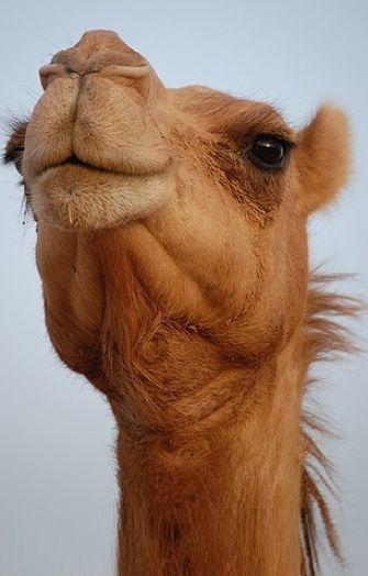 Lightning, the Camel