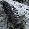Giant Hellgrammite