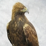 Archimedes [Will's Eagle]
