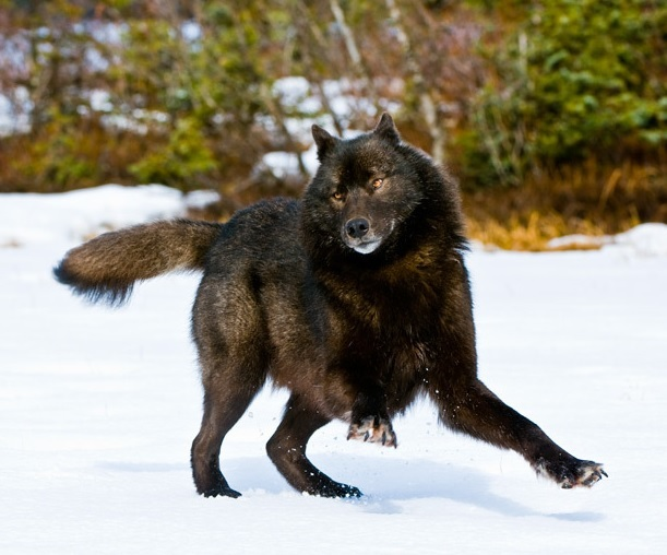 Dancing Ferret Blackhorse