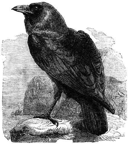 Ellen the Scruffy Raven