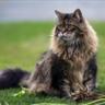 Lil B, Cat of Cholderton