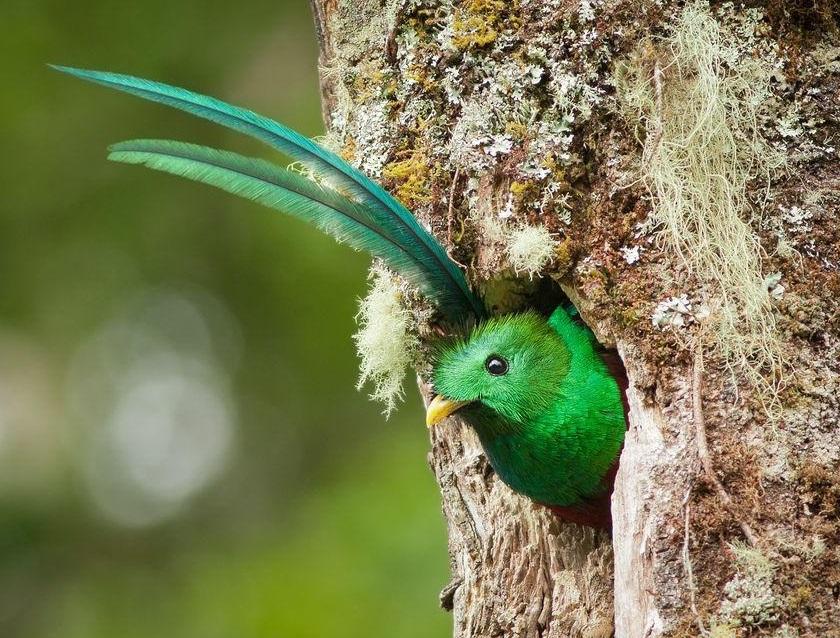 Quetzal Tlanextoca